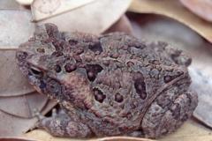 Bufonidae--Rhinella_marina(formerly-Bufo_marinus)-19980104-0012_resize