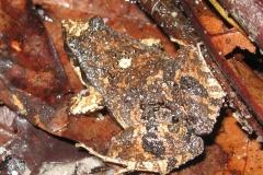 IMG_1222-Frog-LeptodactylusSpecies