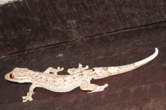 IMG_1099-Turnip-tailedGecko(Thecadactylus_rapicauda)_resize