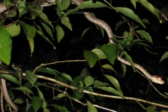 IMG_1788-Cooks_or_Garden_TreeBoa-Corallus_enydris_resize