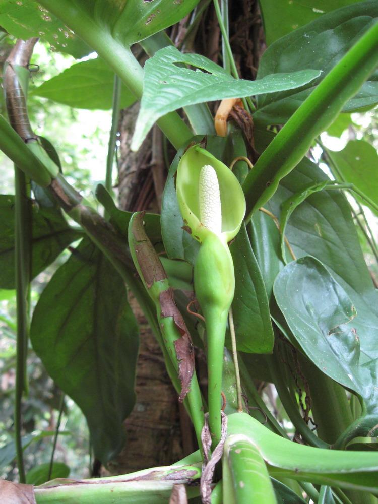 Araceae (Aronskelkfamilie) - Tayersoort
