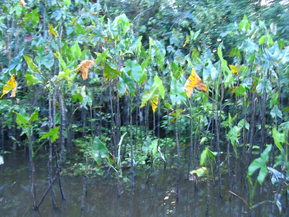 Moko-moko - Araceae (Aronskelkfamilie)