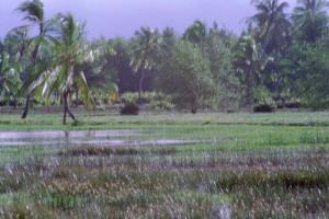 _Sr_Locatie_Suriname-West_Coronie-MoerasEnCocospalmen_19960606-0033