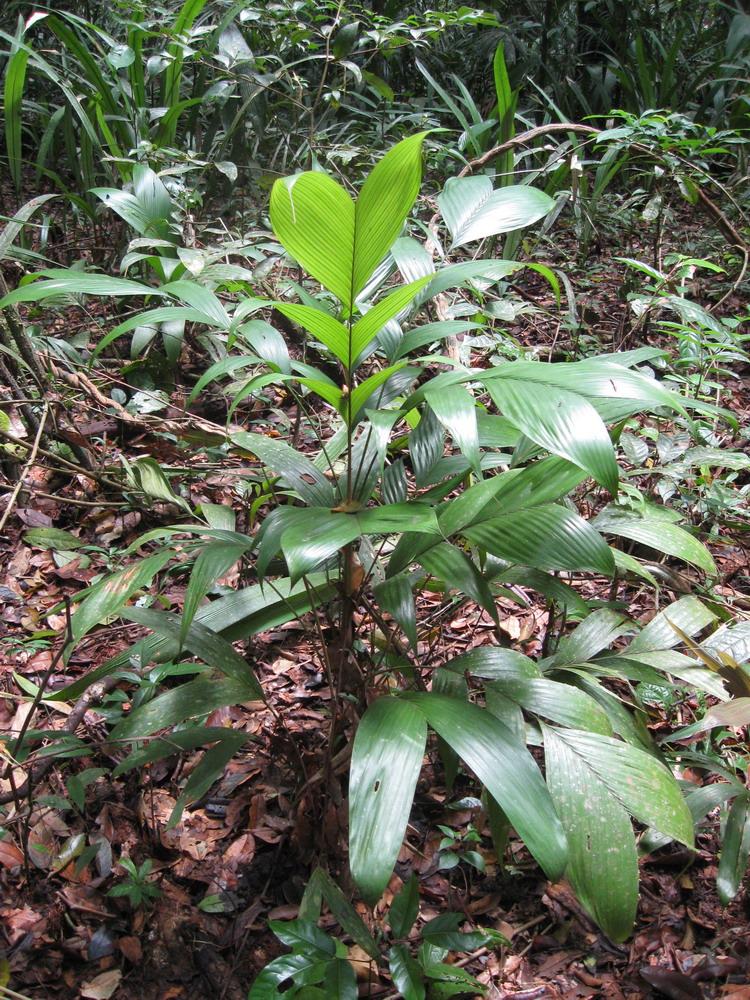Tasi - wordt gebruikt voor het vlechten van bladerdaken.