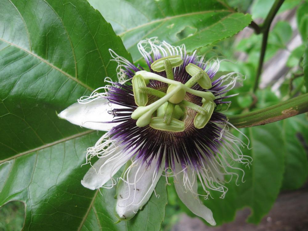 Markoesa (passievrucht) bloem